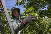 Wapato, Washington, Workers thining fruit on red delicious apple trees so the remaining apples will grow to a large size - David Bacon - 08-07-2016