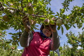 Wapato, Washington, Workers thining fruit on red delicious apple trees so the remaining apples will grow to a large size - David Bacon - 2010s,2016,agricultural,agriculture,apple,apples,BAME,BAMEs,bandanna,BEMM,BEMMs,BME,bmes,by hand,capitalism,capitalist,casual workers,crop,crops,cultivate work,Diaspora,diversity,EARNINGS,EBF,Economic