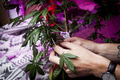Cannabis users harvesting a crop of home grown Cannabis plants in their home. The plants were grown for personal use. Yorkshire purple LED grow light - Connor Matheson - 01-08-2016