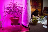 Cannabis users harvesting a crop of home grown Cannabis plants in their home. The plants were grown for personal use. Yorkshire purple LED grow light - Connor Matheson - 2010s,2016,cannabis,crop,crops,cultivation,drug,drugs,grow,grower,growers,growing,harvest,harvesting,home,home grown,homegrown,illegal,leaf,leaves,light,lighting on,lights,male,man,marijuana,men,peopl
