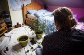 Cannabis users harvesting a crop of home grown Cannabis plants in their home. The plants were grown for personal use. Yorkshire - Connor Matheson - 2010s,2016,cannabis,crop,crops,cultivation,drug,drugs,flat,flats,grow,grower,growers,growing,harvest,harvesting,home,home grown,homegrown,homes,illegal,leaf,leaves,male,man,marijuana,men,people,person