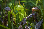 Siskiyou County, California. Carnivorous Darlingtonia californica Torr, California pitcher plant, cobra lily, or cobra plant. Insects enter under its hood and are trapped by slippery sides and downwar... - David Bacon - 31-08-2016