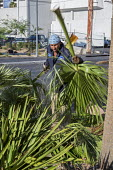 Las Vegas, Nevada, worker removing palm fronds pruned from palm trees - Jim West - 2010s,2016,America,BAME,BAMEs,BME,bmes,cities,City,cleanup,contractor,contractors,Council Services,Council Services,cut,cutting,Diaspora,diversity,EARNINGS,employee,employees,Employment,ethnic,ethnici