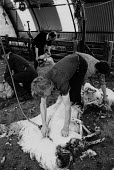 Sheperds sheep shearing in a farm shed, Northumberland - Denis Doran - 1980s,1985,agricultural,agriculture,ANIMAL,ANIMALS,by hand,cut,cutting,Domesticated Ungulate,domesticated ungulates,EARNINGS,farm,farmed,farming,fleece,Income,INCOMES,inequality,livestock,living wage,