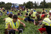 Romanian and Bulgarian migrant workers harvesting broad beans, Warwickshire - John Harris - 23-06-2016