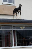 Dogs on the roof guarding a pub being refurbished, Bentilee, Stoke on Trent, Staffordshire - John Harris - 2010s,2017,animal,Animal Welfare,animals,barking,building,buildings,canine,cities,City,dog,dogs,Guard,guarding,guards,Housing,OWNERSHIP,pet,pets,roof,roofs,rooftop,rooftops,scene,scenes,security,Stoke
