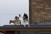 Dogs on the roof guarding a pub being refurbished, Bentilee, Stoke on Trent, Staffordshire - John Harris - 2010s,2017,animal,Animal Welfare,animals,building,buildings,canine,cities,City,dog,dogs,excluded,exclusion,Guard,guarding,guards,HARDSHIP,Housing,impoverished,impoverishment,INEQUALITY,Marginalised,OW