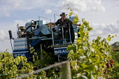 Harvesting grapes, Buzzard Valley Vineyard, Staffordshire - Jess Hurd - 2010s,2016,agricultural,agriculture,Buzzard Valley Vineyard,capitalism,crop,crops,driver,drivers,driving,EBF,Economic,Economy,employee,employees,Employment,farm,Farm Worker,farm workers,farmed,farmer,