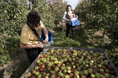 Bulgarian fruit pickers working in an apple orchard, Wisbech, Cambridgeshire - Jess Hurd - 2010s,2016,agricultural,agriculture,apple,apples,Bulgarian,bulgarians,by hand,Cambridgeshire,capitalism,capitalist,casual workers,crop,crops,Diaspora,EARNINGS,eastern European,eastern Europeans,EBF,Ec