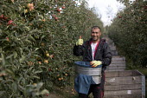 Bulgarian fruit pickers, apple orchard, Wisbech, Cambridgeshire - Jess Hurd - 06-10-2016