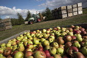 Apple orchard, Wisbech, Cambridgeshire - Jess Hurd - 2010s,2016,agricultural,agriculture,apple,apples,box,boxes,Bulgarian,bulgarians,Cambridgeshire,capitalism,capitalist,casual workers,crop,crops,Diaspora,EARNINGS,Eastern European,eastern Europeans,EBF,