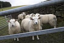 Sheep in a pen, Kinder Scout trail, Peak District, Derbyshire - Jess Hurd - 24-02-2017