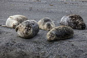 California, USA. Harbor seals lying on Navarro Beach, Navarro River estuary, Navarro River Redwoods State Park - David Bacon - 07-03-2017