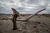 California, USA. Driftwood on Navarro Beach, Navarro River estuary, Navarro River Redwoods State Park - David Bacon - 07-03-2017