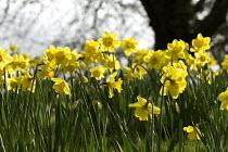Daffodils on a village green, Loxely, Warwickshire - John Harris - 2010s,2017,daffodil,daffodils,ENI,environment,Environmental Issues,flower,flowering,flowers,nature,plant,planting,plants,season,seasonal,spring,SUNNY,sunshine,village,VILLAGES,Warwickshire,yellow