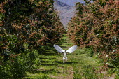 Coachella Valley, California, USA. Snowy Egret taking off from grove of mango trees - David Bacon - 2010s,2017,agricultural,agriculture,animal,animals,bird,birds,California,capitalism,country,countryside,cultivation,EBF,Economic,Economy,egret,ENI,environment,Environmental Issues,farm,farmed,farmland