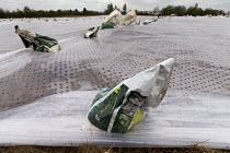 Plastic mulch over crops in a field in Warwickshire - John Harris - 07-04-2017