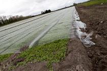 Plastic mulch over crops, Shropshire - John Harris - 2010s,2017,agricultural,agriculture,capitalism,crop,crops,EBF,Economic,Economy,farm,farmed,farming,farmland,farms,field,fields,grow,grower,growers,growing,Industries,industry,plastic,plastics,producer