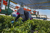 Coachella Valley, California, Farm workers picking bell peppers for Belk Farms. Workers cutting the peppers from the plants into orange buckets which they put on a conveyor belt to be loaded into bins... - David Bacon - 03-04-2017