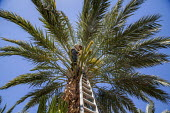 Coachella Valley, California, a palmero working in a grove of date palms. Climbing up a ladder he pollinates the buds that will become the dates, and ties the bunch together with string. Once up in th... - David Bacon - 2010s,2017,agricultural,agriculture,american,americans,amerindian,amerindians,BAME,BAMEs,BME,bmes,by hand,California,capitalism,casual workers,Climbing,Coachella Valley,date,Date Palm,date palms,dates
