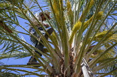 Coachella Valley, California, a palmero working in a grove of date palms. Climbing up a ladder he pollinates the buds that will become the dates, and ties the bunch together with string. Once up in th... - David Bacon - 03-04-2017
