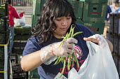 Tucson, Arizona, USA Student volunteers from a High School distributing produce provided by the Borderlands Food Bank. It distributes 30 to 40 million pounds of produce each year that would otherwise... - Jim West - 08-04-2017