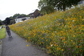 Wildflower boarders sown by Telford and Wrekin Council. Wildflowers reduce spending on floral displays at the side of roads, 150,000 sq ft has been seeded. Shropshire - John Harris - 2010s,2017,color,colorful,colorfull,colors,colour,colourful,colours,Council Services,Council Services,ENI,environment,Environmental Issues,flower,flowering,flowers,highway,local authority,meadow,MEADO