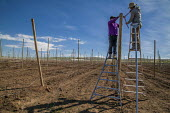 Washington, USA H2A Mexican temporary contract workers stringing up wire supports for planting apple trees in an field owned by Stemilt Growers. The company has trained them to do this skilled work - David Bacon - 2010s,2017,agricultural,agriculture,american,americans,amerindian,amerindians,apple,apples,BAME,BAMEs,BME,bmes,by hand,capitalism,capitalist,casual workers,company,contract,crop,crops,Diaspora,diversi