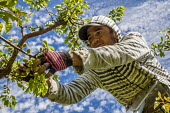 Yakima Valley, Washington, USA Workers thinning out blossoms on apple trees in an orchard, Harvey Jones Farm - David Bacon - 04-05-2017