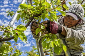 Yakima Valley, Washington, USA Workers thinning out apricots from the bunches on a tree - David Bacon - 04-05-2017