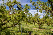 Zillah, Washington, USA Workers thinning out apricots from the bunches on a tree - David Bacon - 04-05-2017