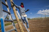 Washington, USA H2A Mexican temporary contract workers stringing up wire supports for planting apple trees in an field owned by Stemilt Growers. The company has trained them to do this skilled work - David Bacon - 04-05-2017