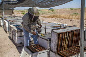Imperial Valley, California, USA A beekeeper, working with hives south of the Salton Sea. Bees are under stress because of increased salt dust from the receeding waters of the lake - David Bacon - 2010s,2017,agricultural,agriculture,Air Pollution,Air Quality,american,americans,animal,animals,BAME,BAMEs,bee,beehive,beehives,beekeeper,beekeepers,bees,BME,bmes,border,California,capitalism,capitali