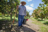 Coachella Valley, California, USA. Elderly farm worker working in a grove of organic Keitt mango trees, digging out moles. Avas Mangos, the largest organic mango grower in California - David Bacon - 04-04-2017