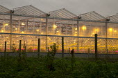Winter growing tomato greenhouse using LED lighting, Vale of Evesham, Worcestershire. An unusual red looking sky and sun due to Hurricane Ophelia dragging in tropical air and dust from the Sahara dese... - John Harris - 2010s,2017,agricultural,agriculture,capitalism,desert,EBF,Economic,Economy,fruit,fruits,greenhouse,greenhouses,grow,grower,growing,HORTICULTURAL,Horticulture,Hurricane,Industries,industry,interlightin