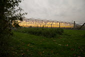 Winter growing tomato greenhouse using LED lighting, Vale of Evesham, Worcestershire - John Harris - 2010s,2017,agricultural,agriculture,capitalism,EBF,Economic,Economy,fruit,fruits,greenhouse,greenhouses,grow,grower,growing,HORTICULTURAL,Horticulture,Industries,industry,interlighting,light,lighting,