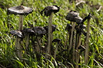 Shaggy Ink Cap (Coprinus Comatus) fungi mushrooms Leicstershire - John Harris - 2010s,2017,autodigestion,cap,caps,Coprinus Comatus,ENI,environment,Environmental Issues,farm,farmed,farmland,farms,field,fields,fungi,grow,growing,mushroom,mushrooms,nature,plant,plants,Shaggy Ink Cap