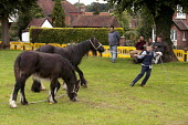 Horsmonden Gypsy Horse Fair, Kent. Horses on the village green, known as the Heath. For a few hours it becomes an important social event for the Gypsy and Traveller community. This Charter Fair dates... - David Mansell - 13-09-2015