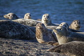 Jenner, California, USA, Harbor seals, on the beach, Russian River Estuary - David Bacon - 05-02-2018