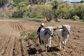Carrizal, Oaxaca, Mexico A farmer driving cattle pulling a large tree branch through a field, West Etla Valley - Jim West - 23-02-2018