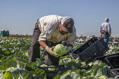 Oxnard, California, USA: Mexican farm workers harvesting cabbages - David Bacon - 2010s,2018,agricultural,agriculture,BAME,BAMEs,bending over,BME,bmes,box,boxes,cabbage,cabbages,California,capitalism,casual workers,crop,crops,cutters,cutting,diversity,EARNINGS,EBF,Economic,Economy,