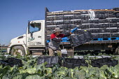 Oxnard, California, USA: Mexican farm workers harvesting cabbages - David Bacon - 2010s,2018,agricultural,agriculture,BAME,BAMEs,BME,bmes,box,boxes,cabbage,cabbages,California,capitalism,casual workers,crop,crops,diversity,EARNINGS,EBF,Economic,Economy,employee,employees,Employment