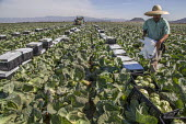 OXNARD, CA - 18APRIL18 - A crew of farm workers harvests cabbage in an Oxnard field for Pablo's, a local harvester and distributer. A worker puts plastic over the boxes of cut cabbage.  Copyright Da... - David Bacon - 18-04-2018