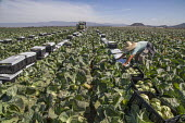 Oxnard, California, USA: Mexican farm workers harvesting cabbages. A worker putting plastic over the boxes of cut cabbage - David Bacon - 2010s,2018,agricultural,agriculture,BAME,BAMEs,BME,bmes,box,boxes,cabbage,cabbages,California,capitalism,casual workers,cover,crop,crops,diversity,EARNINGS,EBF,Economic,Economy,employee,employees,Empl