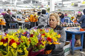 Doral, Florida - Workers process cut flowers from South America at the USA Bouquet warehouse near the Miami airport. Working at 40 degrees F, women package flowers for supermarkets and other outlets,... - Jim West - 2010s,2018,America,american,americans,assembly line,bouquet,bouquets,bunch of,capitalism,celsius,centigrade,cold,Colombia,colombian,cut flower industry,cut flowers,Doral,EARNINGS,EBF,Economic,Economy,