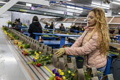 Doral, Florida, USA Workers processing cut flowers imported from South America, USA Bouquet Warehouse. Women packaging flowers for American outlets working at 40 degrees Fahrenheit (4.4 degrees centig... - Jim West - 2010s,2018,America,american,americans,assembly,assembly line,BAME,BAMEs,BME,bmes,bouquet,bouquets,bunch of,capitalism,celsius,centigrade,cold,Colombia,colombian,cut flower industry,cut flowers,diversi