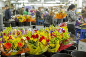 Doral, Florida, USA Workers processing cut flowers imported from South America, USA Bouquet Warehouse. Women packaging flowers for American outlets working at 40 degrees Fahrenheit (4.4 degrees centig... - Jim West - 18-04-2018