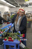 Doral, Florida, USA Workers processing cut flowers imported from South America, USA Bouquet Warehouse. Women packaging flowers for American outlets working at 40 degrees Fahrenheit (4.4 degrees centig... - Jim West - 2010s,2018,African American,African Americans,America,american,americans,assembly line,BAME,BAMEs,black,BME,bmes,bouquet,bouquets,bunch of,capitalism,celsius,centigrade,cold,Colombia,colombian,cut flo