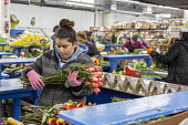 Doral, Florida, USA Workers processing cut flowers imported from South America, USA Bouquet Warehouse. Women packaging flowers for American outlets working at 40 degrees Fahrenheit (4.4 degrees centig... - Jim West - 2010s,2018,America,american,americans,assembly line,BAME,BAMEs,BME,bmes,bouquet,bouquets,bunch of,capitalism,celsius,centigrade,cold,Colombia,colombian,cut flower industry,cut flowers,diversity,Doral,