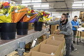 Doral, Florida, USA Workers processing cut flowers imported from South America, USA Bouquet Warehouse. Women packaging flowers for American outlets working at 40 degrees Fahrenheit (4.4 degrees centig... - Jim West - 2010s,2018,America,american,americans,assembly line,bouquet,bouquets,bunch of,capitalism,celsius,centigrade,cold,Colombia,colombian,cut flower industry,cut flowers,Doral,EARNINGS,EBF,Economic,Economy,